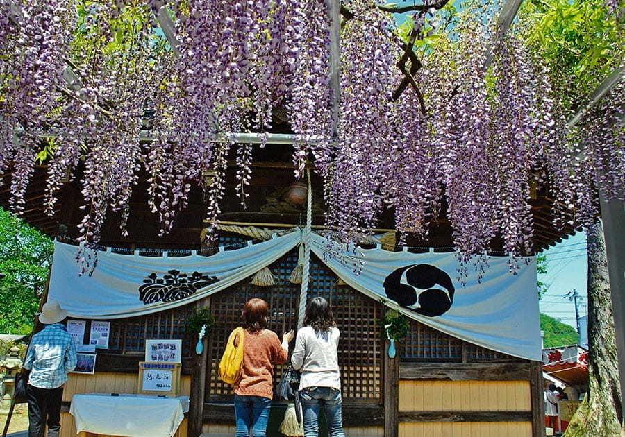 大歳神社「千年藤」藤まつり