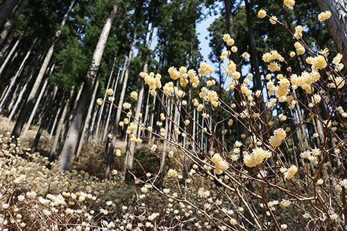 宍粟の花めぐり 本谷のミツマタ