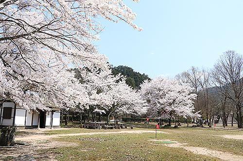 宍粟の花めぐり 家原遺跡公園の桜
