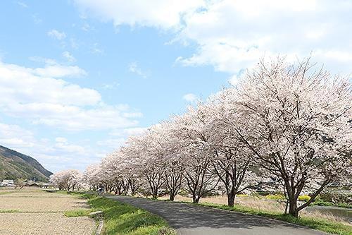 宍粟の花めぐり 高下の桜並木