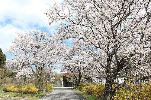 宍粟の花めぐり 葛根腰痛地蔵尊の桜と連翹