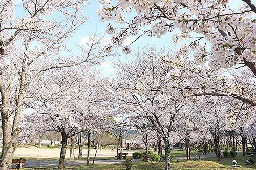 宍粟の花めぐり 夢公園の桜