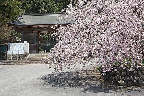 宍粟の花めぐり 正福寺桜・五色椿