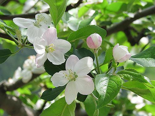 宍粟の花めぐり りんごの花