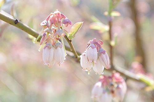 宍粟の花めぐり ブルーベリーの花