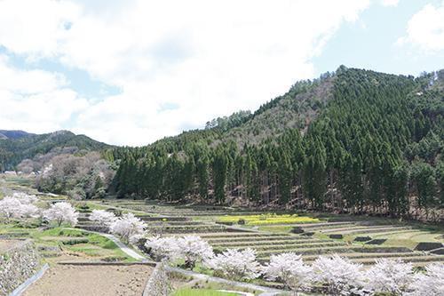宍粟の花めぐり 山田の里棚田の桜