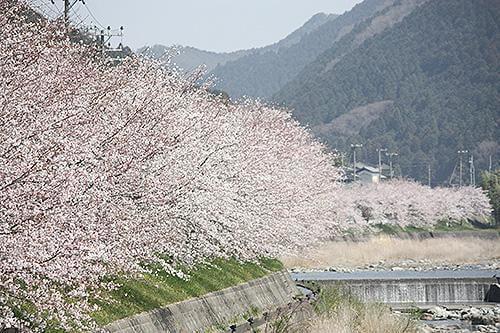 宍粟の花めぐり 西深の桜並木