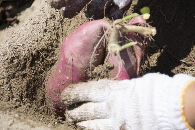 秋の味覚さつまいもを自分で収穫しよう!大地の恵みいっぱいの太子町サツマイモ収穫祭
