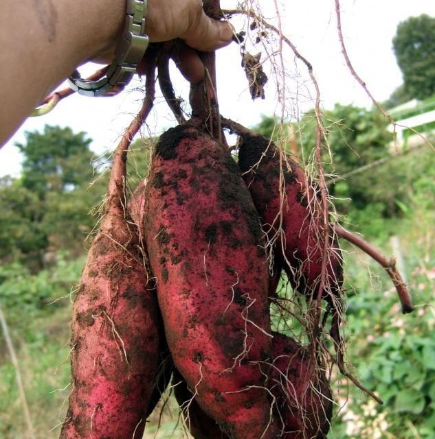 秋の味覚満喫!姫路市仁色ふるさと農園でワクワク、ドキドキのサツマイモ収穫体験