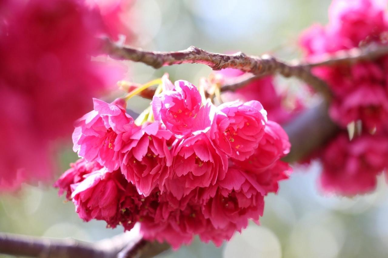 【12月8日】花桃を植樹しよう!参加者募集