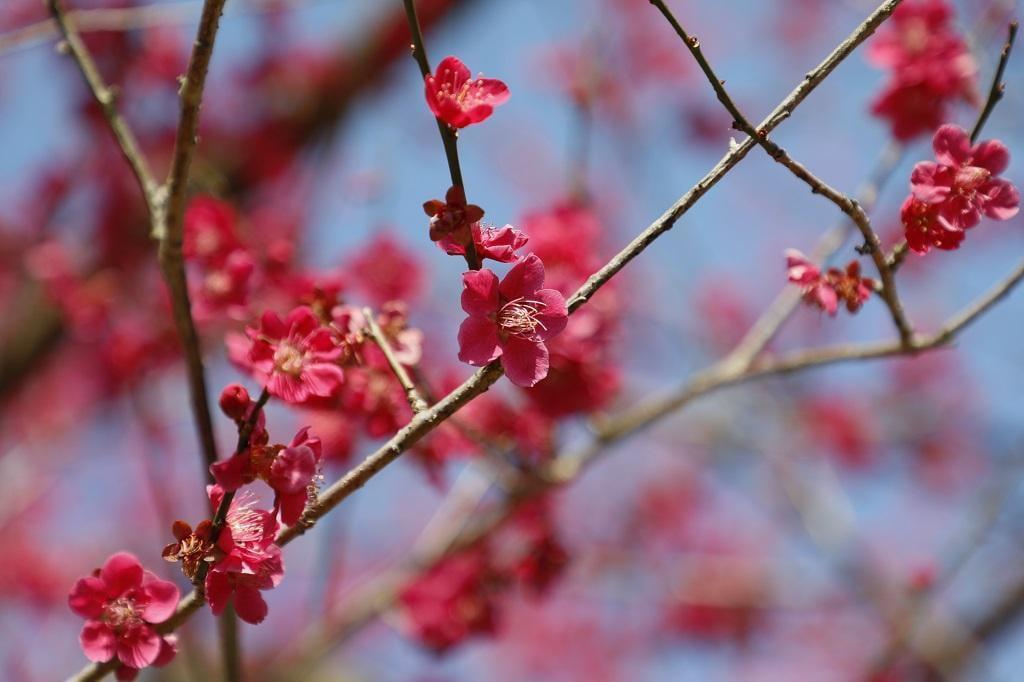 西日本トップクラスの景観!たつの市御津の梅林2選とみつ梅まつりをご紹介【2019年版】