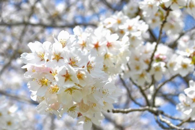 桜祭り10選【2019年最新版】兵庫県播磨版