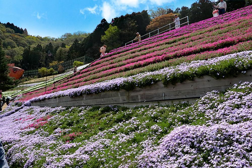 【癒しのお花トリップ】「芝桜の小道」開花状況2019ヤマサ蒲鉾【随時更新】