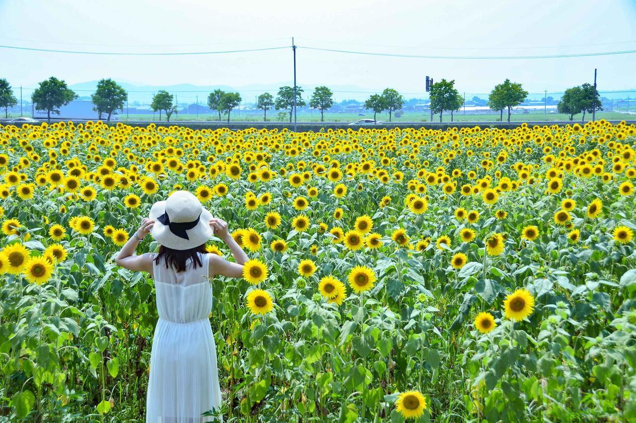 【佐用・赤穂・小野】夏本番!まだ間に合うひまわり祭り2019~兵庫県編~