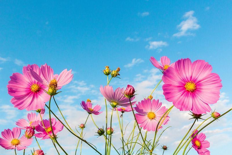 【姫路】コスモス畑まとめ2019!~秋風に揺れる癒しのお花トリップ~