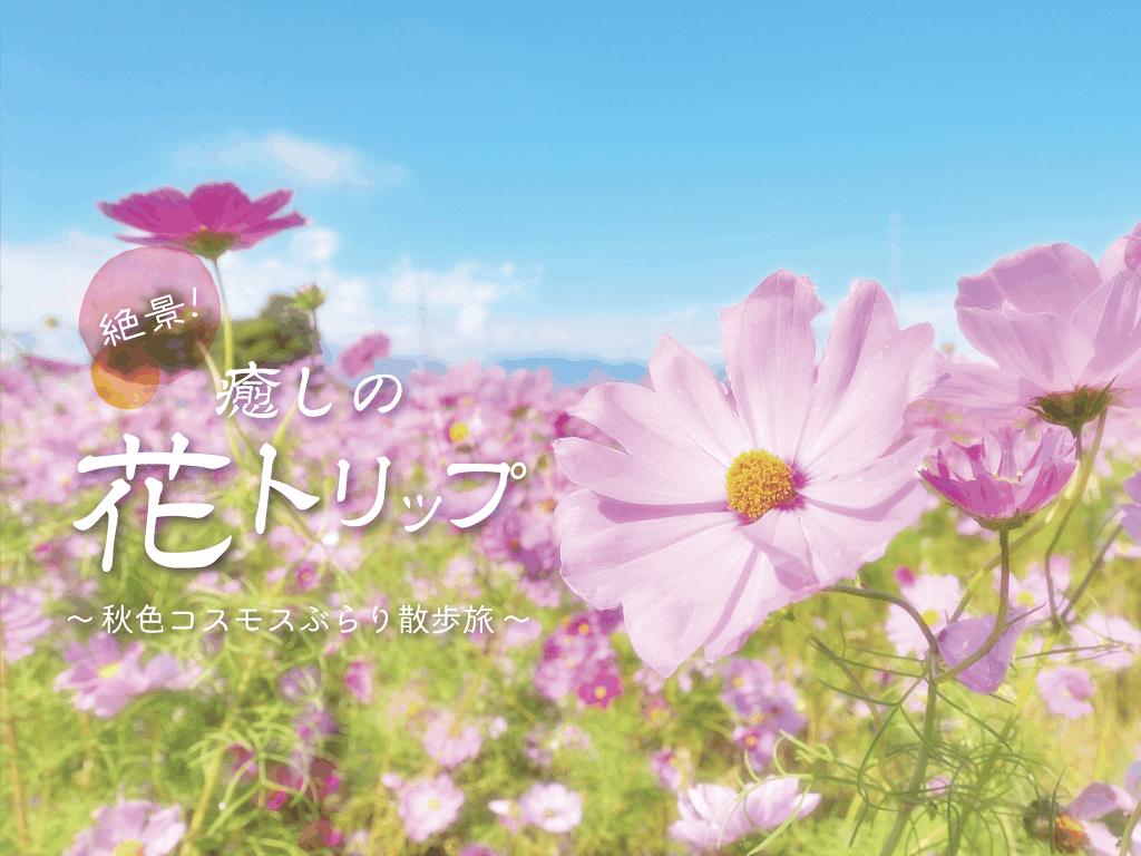 【兵庫・加古川】秋風に揺れるコスモス畑2019~癒しのお花トリップ~