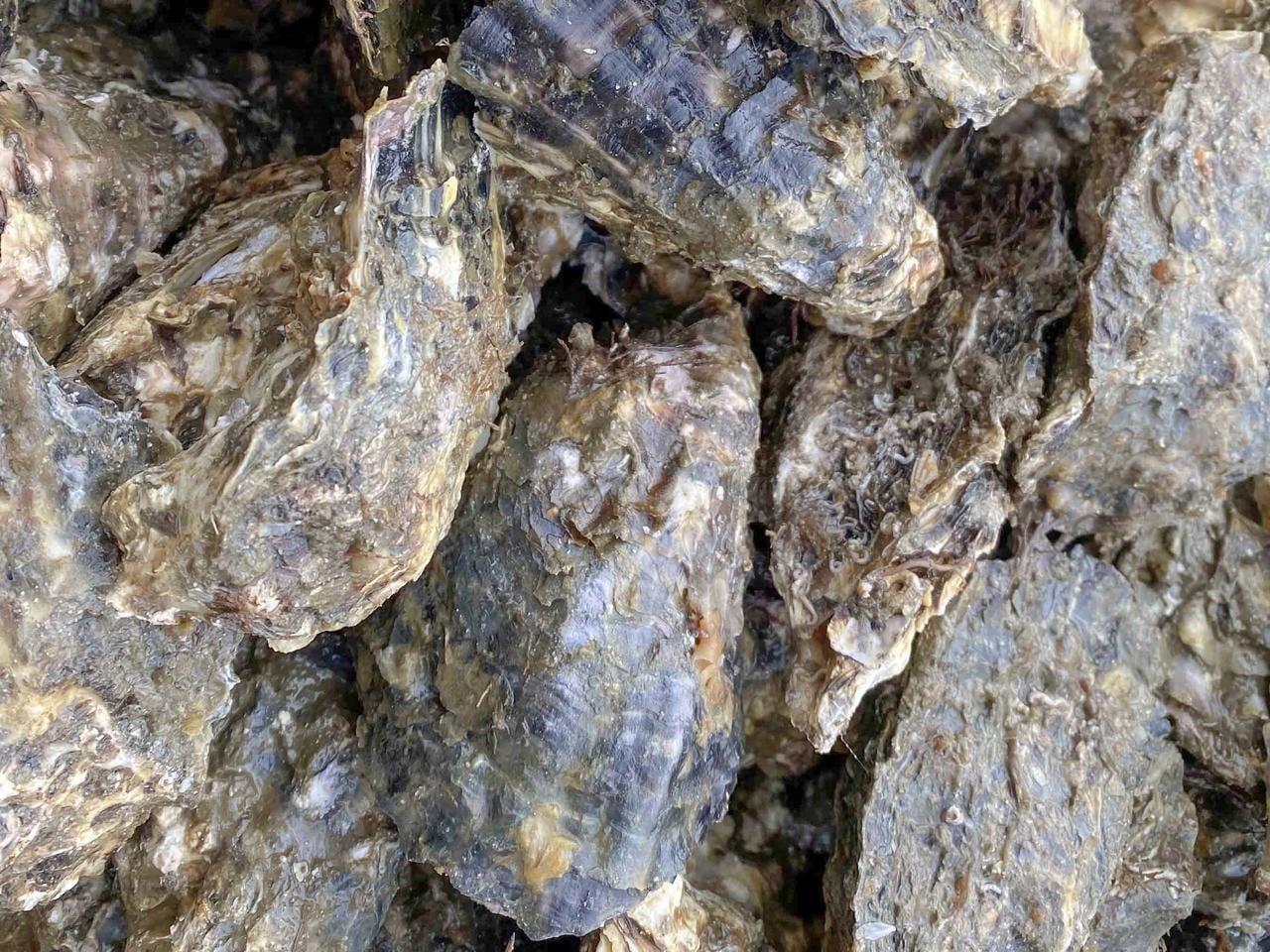 【赤穂・坂越】一本まるごと牡蠣泥棒 安い・うまい・楽しい!超新鮮な牡蠣を堪能