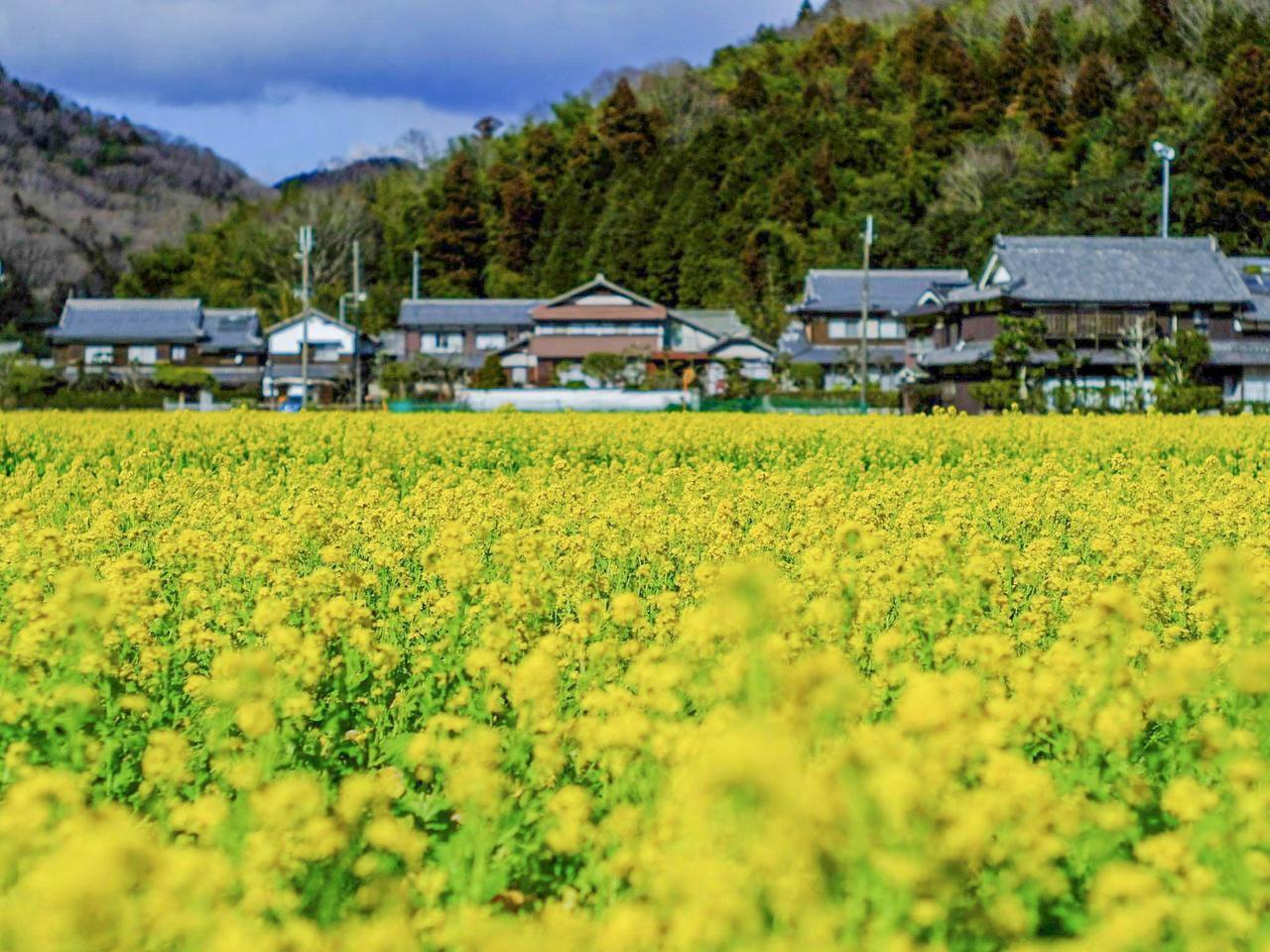 【姫路・夢前】早咲き「菜の花」開花情報!春を感じるスポット紹介