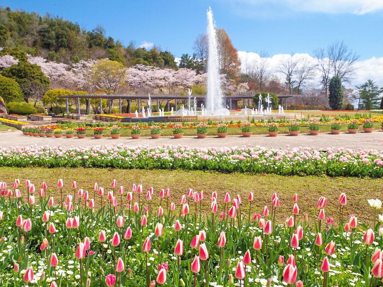 チューリップまつり2020【加西・兵庫県立フラワーセンター】色鮮やかな春を満喫!中止情報も