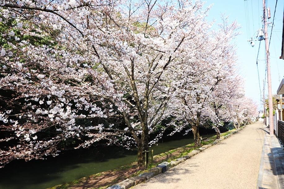 野里小清水門近く桜.jpg