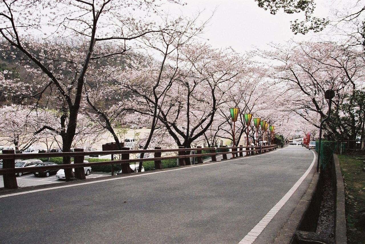 提供・桜写真.jpg